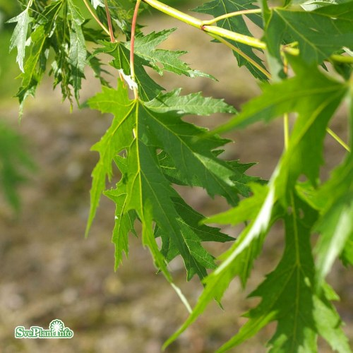 Acer saccharinum Laciniatum Wieri