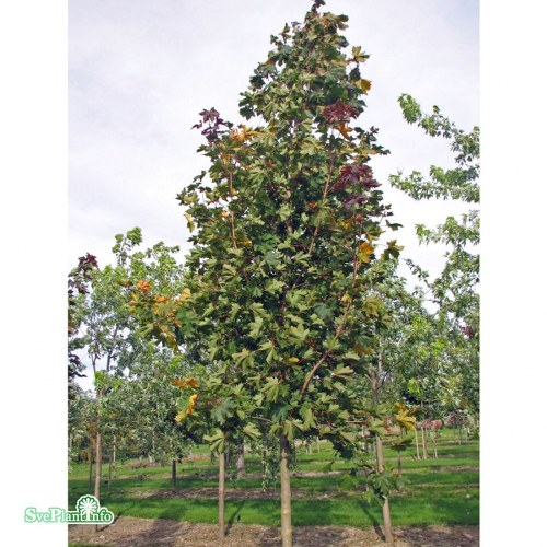 Acer platanoides Deborah