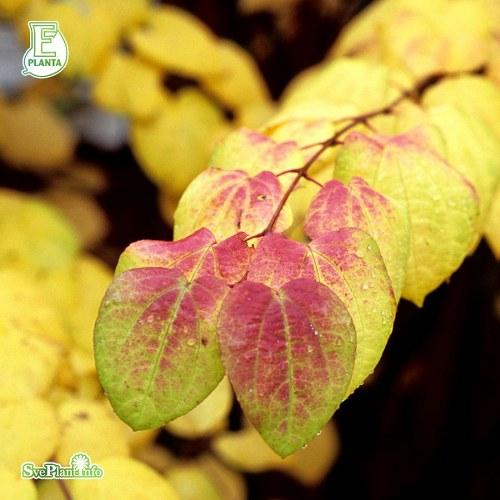 Cercidiphyllum japonicum FK GÖTEBORG E