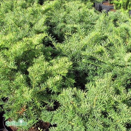 Taxus × media Brownii