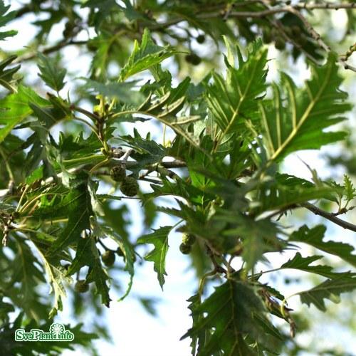 Alnus incana Laciniata