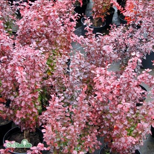 Berberis thunbergii Atropurpurea