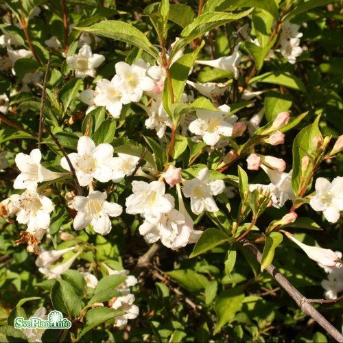 Weigela White Knight