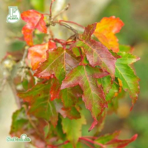 Acer tataricum ssp. ginnala FK UPPSALA E