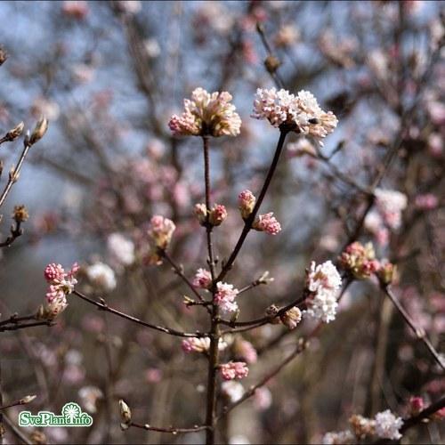 Viburnum × bodnantense Dawn
