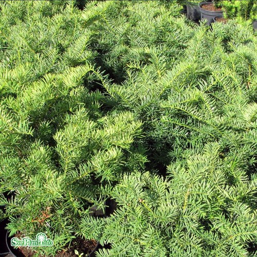 Taxus × media Brownii