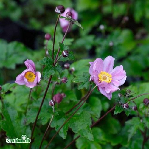 Anemone hybrida Serenade
