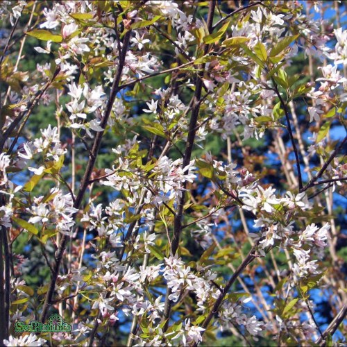 Amelanchier × grandiflora Robin Hill