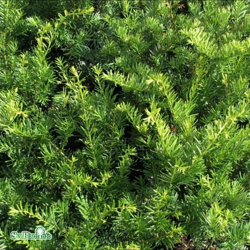 Taxus × media Green Mountain