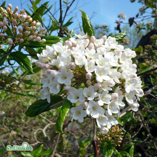Viburnum × burkwoodii
