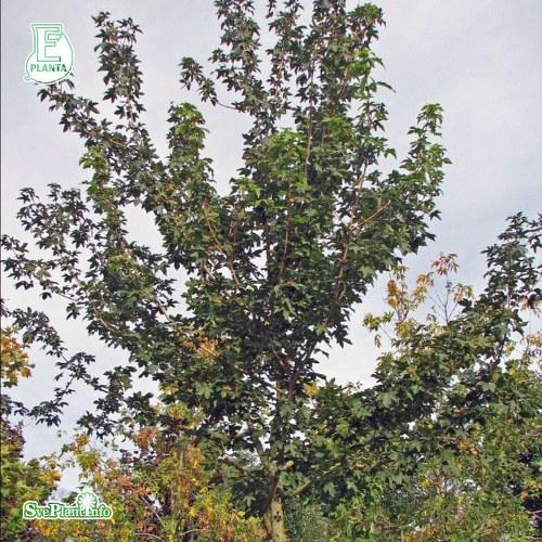 Acer campestre FK UPPSALA E