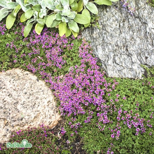 Thymus Coccineus