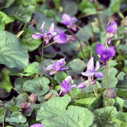 Viola odorata Königin Charlotte