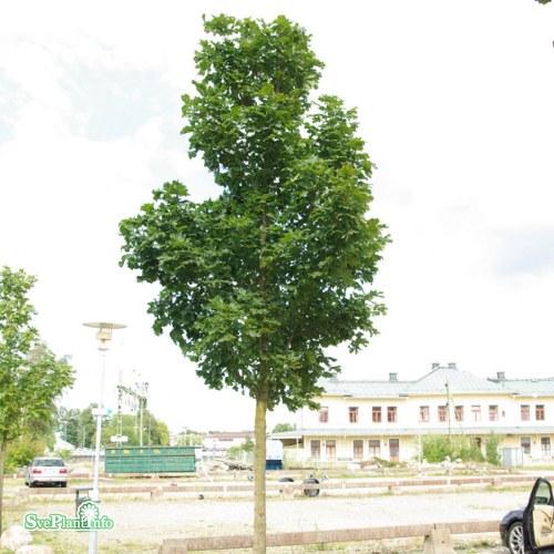 Acer platanoides Columnare