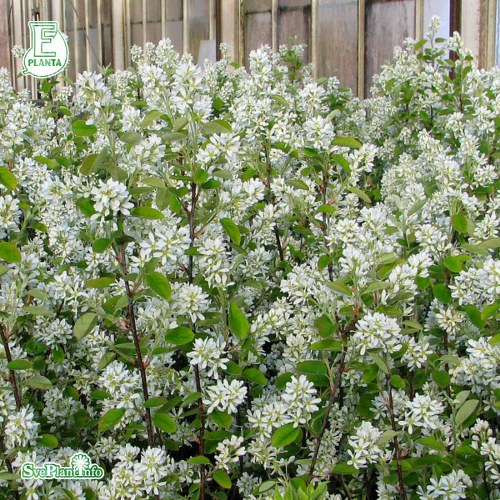 Amelanchier alnifolia FK ALVDAL E