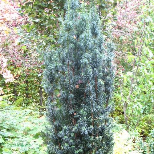Taxus baccata Columna Suecica E