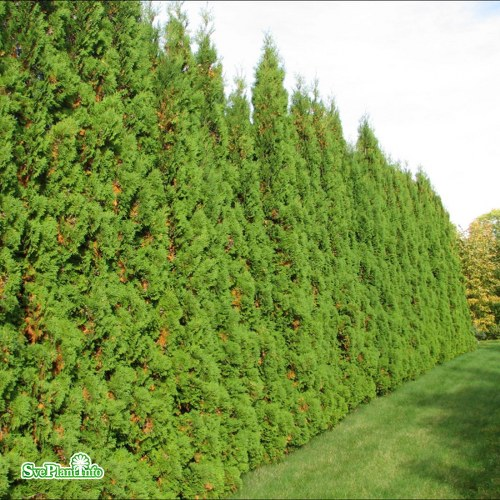 Thuja occidentalis Fastigiata