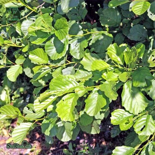 Alnus glutinosa FK FYRIS E