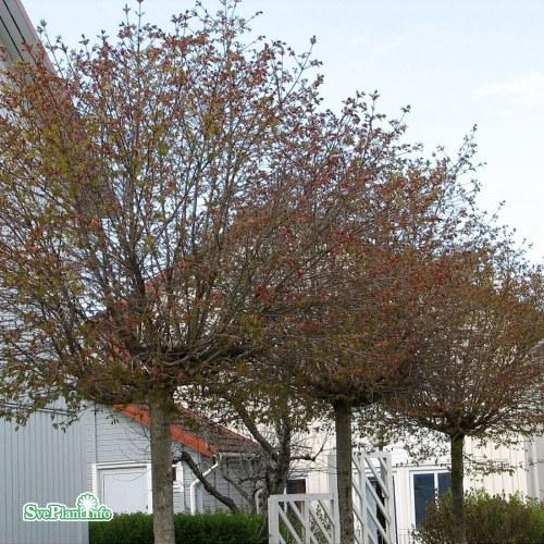 Acer platanoides Globosum