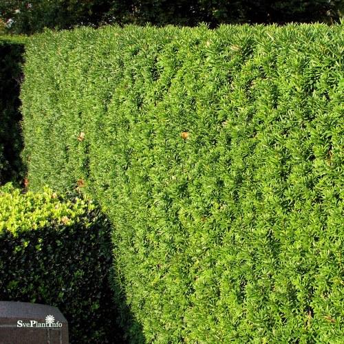 Taxus × media Hillii