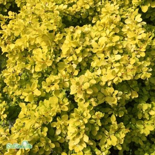 Berberis thunbergii BONANZA GOLD