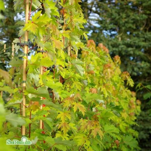 Acer saccharinum Pyramidale