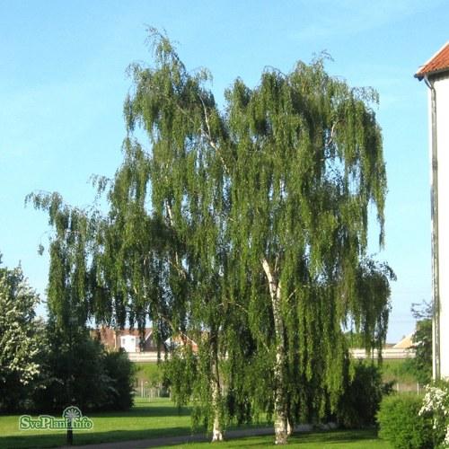 Betula pendula Tristis