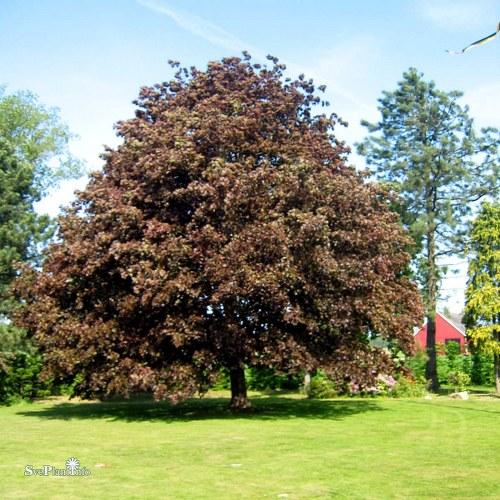 Acer platanoides Faasens Black